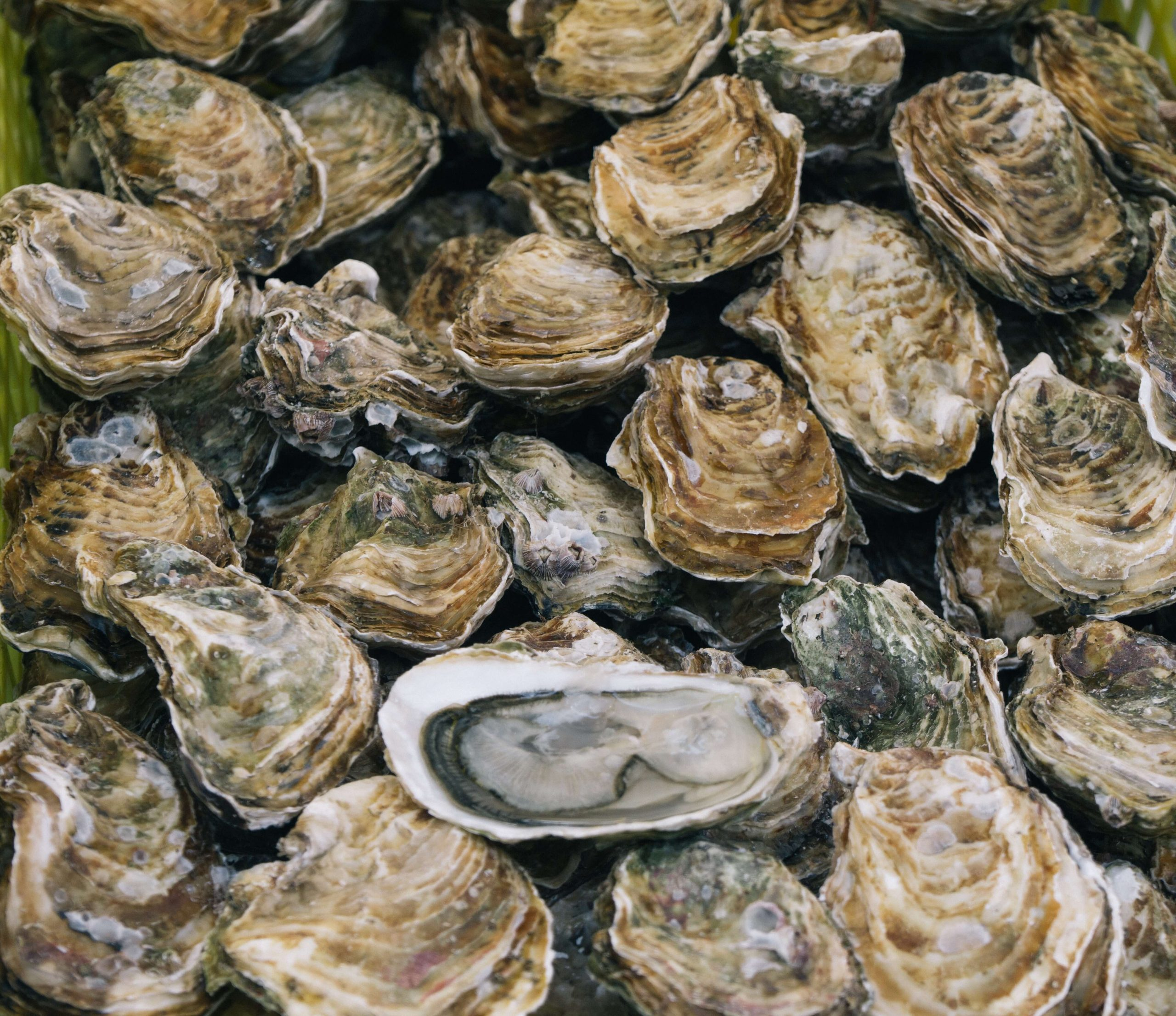 Types of oysters